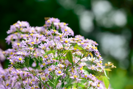 Perennial aster Stock Photo