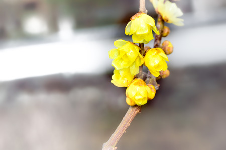 3 month: Chimonanthus praecox
