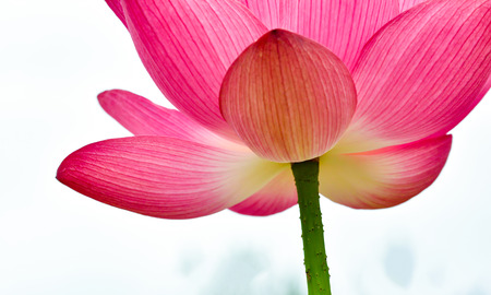 natural love: Lotus flower Stock Photo