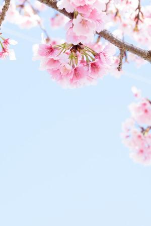 ephemeral: Cherry Blossoms Stock Photo