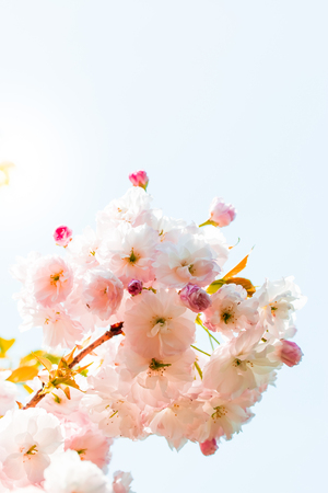ephemeral: Double cherry blossoms