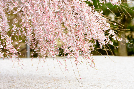 ephemeral: Weeping cherry tree