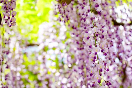 wisteria: Wisteria Stock Photo