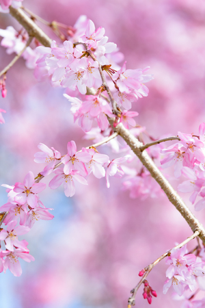 rites: Weeping cherry tree