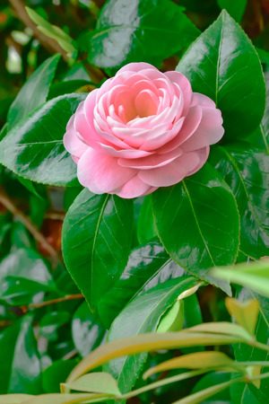 camellia japonica: Camellia japonica Stock Photo
