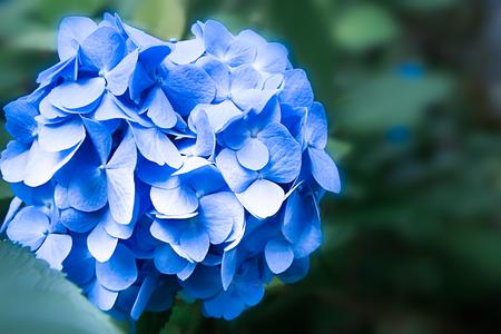 hydrangea flower: Blue Hydrangea flower