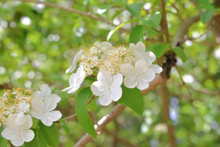 hua: Qiong hua flower