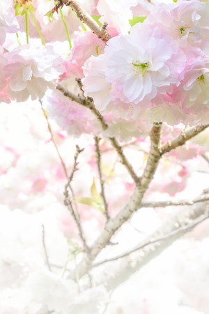 ephemeral: Double cherry blossoms