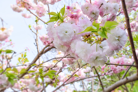 rites: Double cherry blossoms