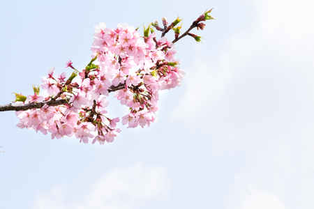 Higan Sakura Japanese cherry tree 스톡 콘텐츠