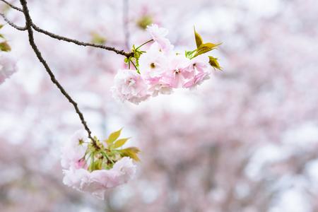 Prunus verecunda 'Antiqua Narano Yae Zakura'