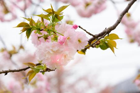 Prunus verecunda Antiqua Narano Yae Zakura