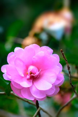Camellia japonica Stok Fotoğraf