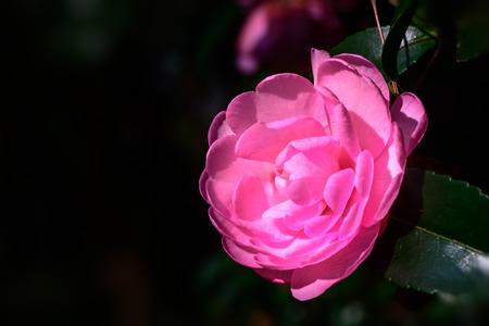 Camellia japonica Imagens