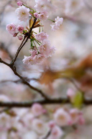 Prunus lannesiana 'Narano Kokonoe Zakura'