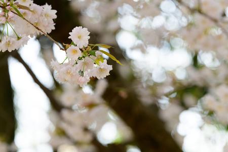 Prunus lannesiana Narano Kokonoe Zakura