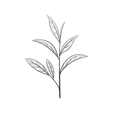 Hand drawn green tea leaf silhouette. Sketch Organic food and drink. Vector illustration, isolated black elements on a white background. For printing and design