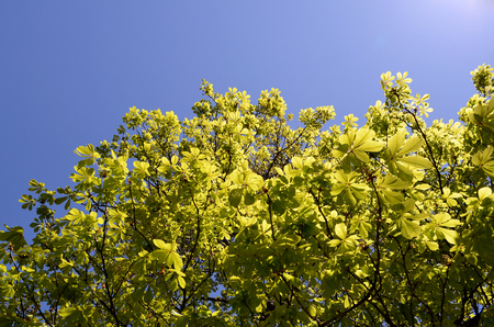 tree leaves on branches in sunlight with blue sky Stock Photo