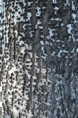 texture of birch tree trunk Stock Photo
