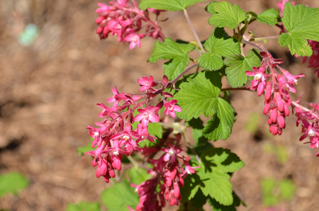 ribes: Red flowering Currant Ribes blooming in spring