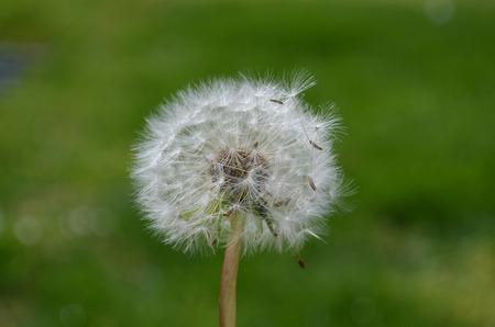 close up of Dandelion seeds