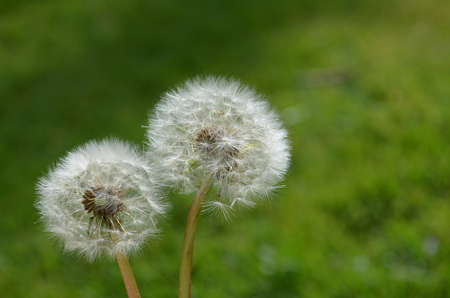 close up of couple of dandelion seeds