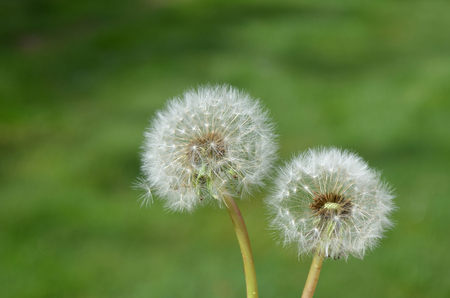 Dandelion seeds in lawn, springtime