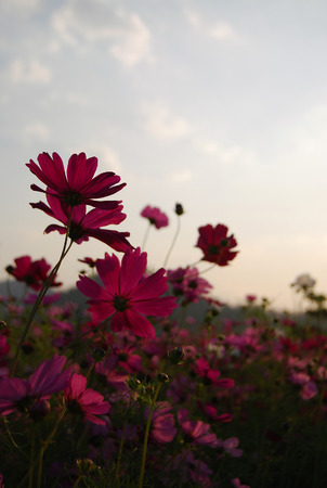 cosmos flowers field in the sunset with selective focus