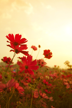 cosmos flowers field in the sunset with selective focus, vintage style
