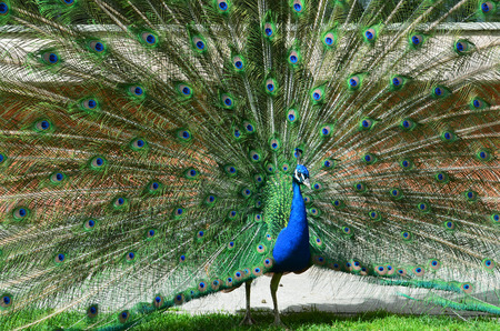 beautiful peacock with spread tail-feathers