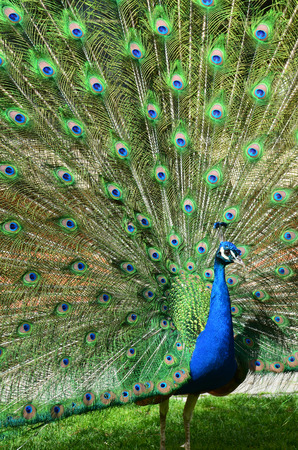 Portrait of beautiful peacock with spread tail-feathers