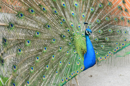 peacock with spread tail feathers Stock Photo