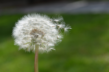close up of Dandelion with seeds Stock Photo