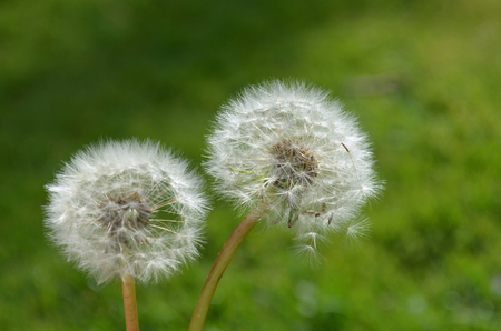 close up of dandelion white seeds Stock Photo