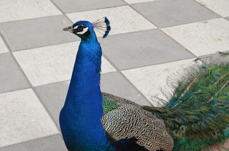 peacock head in spring from Retiro Park in Madrid