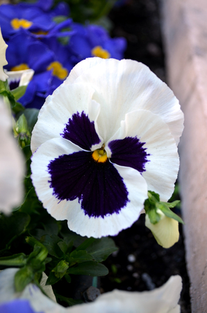 white pansy from garden in spring
