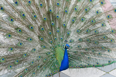 peacock spreading tail-feathers Stock Photo