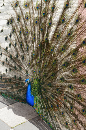 peacock spreading tail-feathers in spring from Retiro Park in Madrid