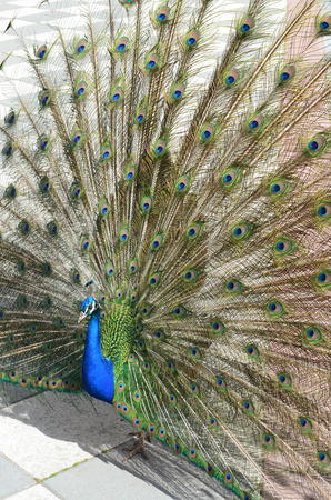 beautiful peacock spreading tail-feathers