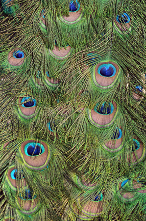 close up of peacock green and blue plumage