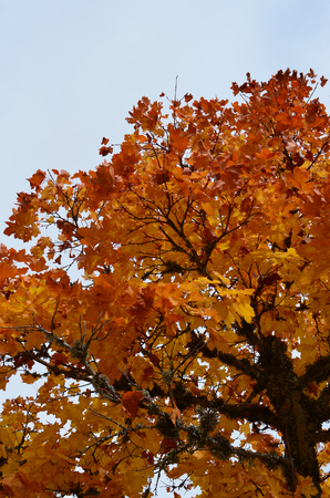crowns of trees with yellow leaves in Autumn with pale blue sky