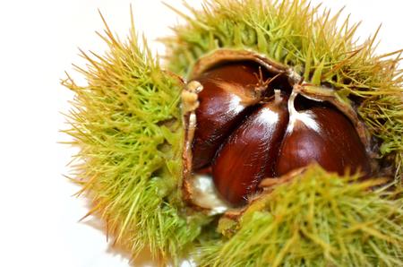 close up of chestnut inside thorny shells on white background