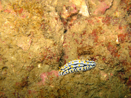 Varicose Nudibranch, black and white with yellow spots nudibranch in Andaman sea Stock Photo