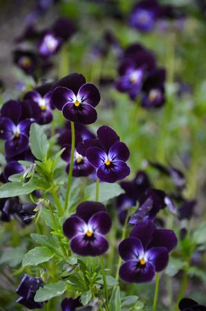 dark purple viola flowers, selective focus