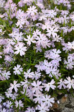 Phlox, pink little flowers Stock Photo