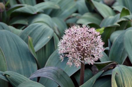 allium flower: light pink allium flower