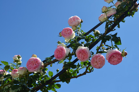 pink roses under blue sky Stock Photo