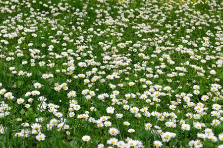 field of daisy flowers. flower meadow
