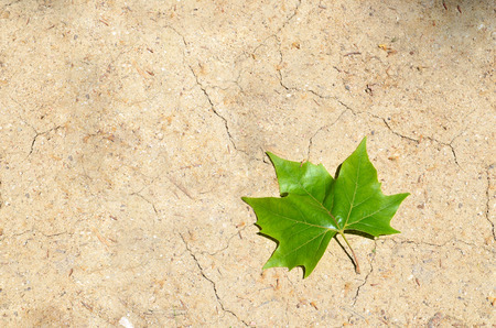 one green maple leaf on dry land