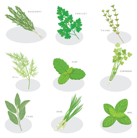 cilantro: collection of fresh herbs isolated: mint, basil, rosemary, parsley, thyme,green onion,coriander,dill,sage.Herbs vector object isolated on white background. Kitchen herbs and spices banner Illustration